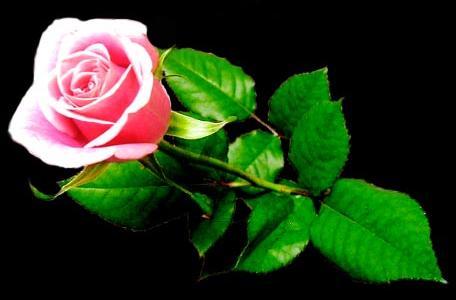 roseblack1234